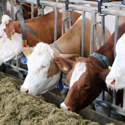 Kuhstall voller Kühe