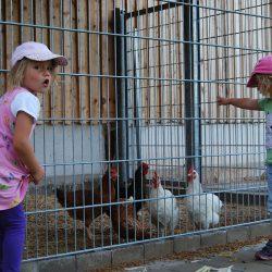 Hühner beim Auslauf