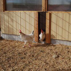 Hühner kommen aus Stall