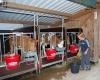 Kälbchen im Stall