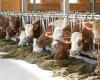 Milchkühe im Offenstall