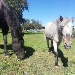 Pferde Franzi und Fleur